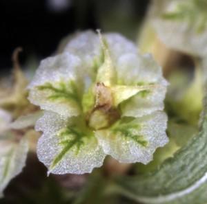 Amaranthus fimbriatus7