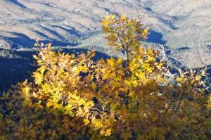 Gambels oak