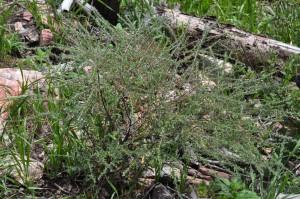 Hackelia pinetorum plant