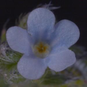 Hackelia pinetorum7