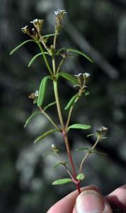 Hedyotis greenei3