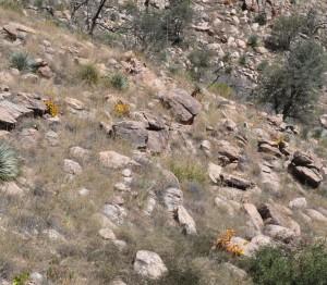 Erythrina flabelliformis1hill