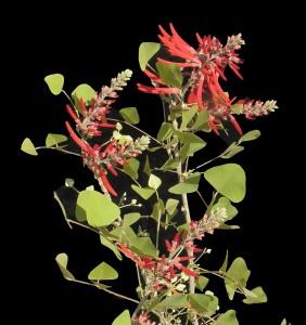 Erythrina flabellisformis3