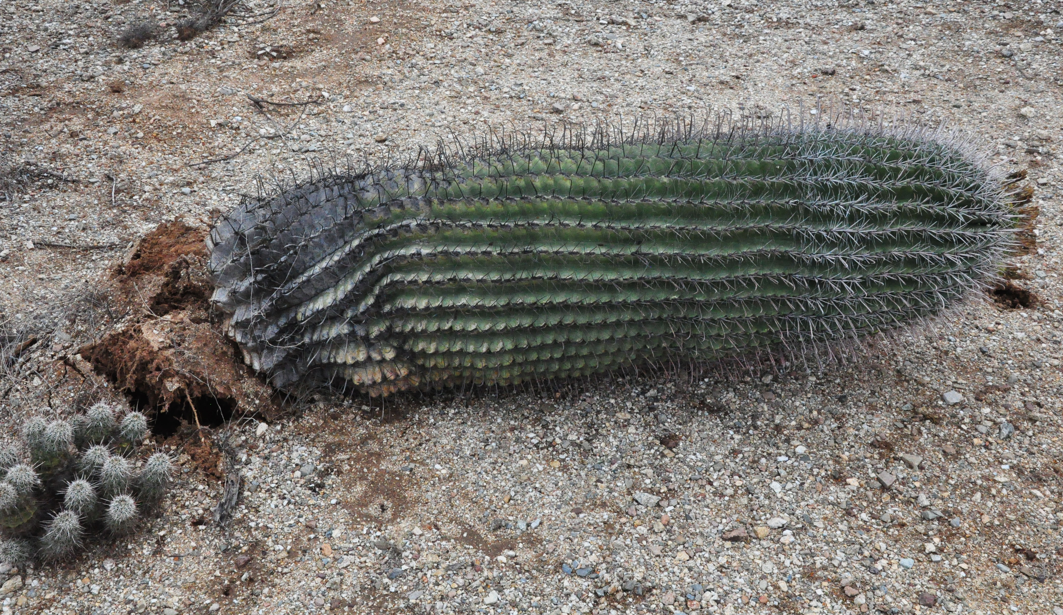 Leaning Barrel Cactus The Tallest Barrel Cactus