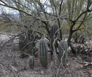 Saguaros under palo verde