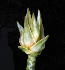 Cypress FLf