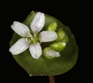 Claytonia perfoliataFL7