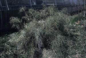 Muhlenbergia dumosa1b