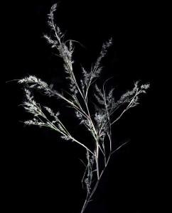 Muhlenbergia dumosa5