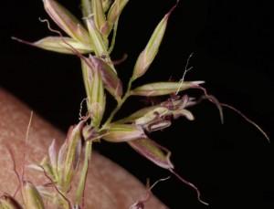 Muhlenbergia dumosa9fl