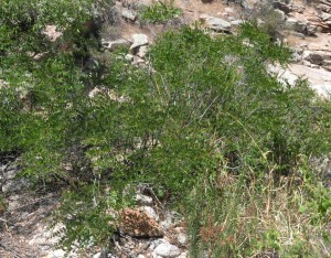 Amorpha fruticosa1