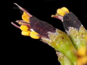 Amorpha fruticosa9b