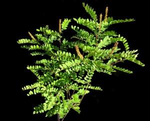 Amorpha fruticosaPL