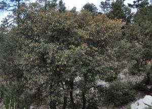 Silver lf oak