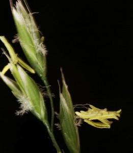 Eragrostis curvula 7b