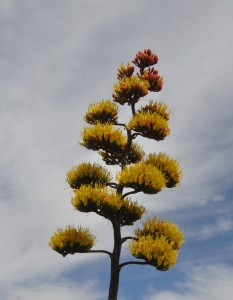 Agave inflorescence
