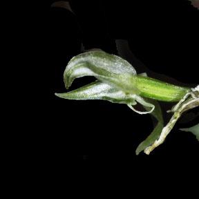 Malaxis abieticola FL