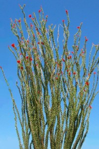 Fouquieria splendensPL