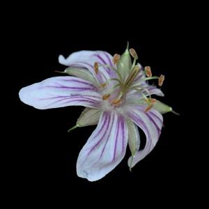 Geranium wislizenii FL