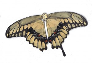 Black yellow butterfly back