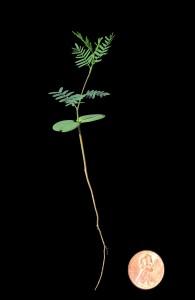 Mesquite seedling