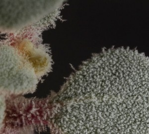 Tidestromia lanuginosa LFportion