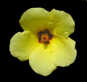 hibiscus coulteriFL2
