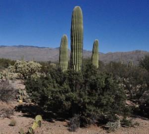 Saguaro condalia