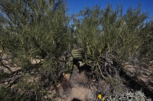 Saguaro nursed by palo verde