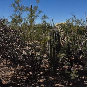 Saguaro w creosote