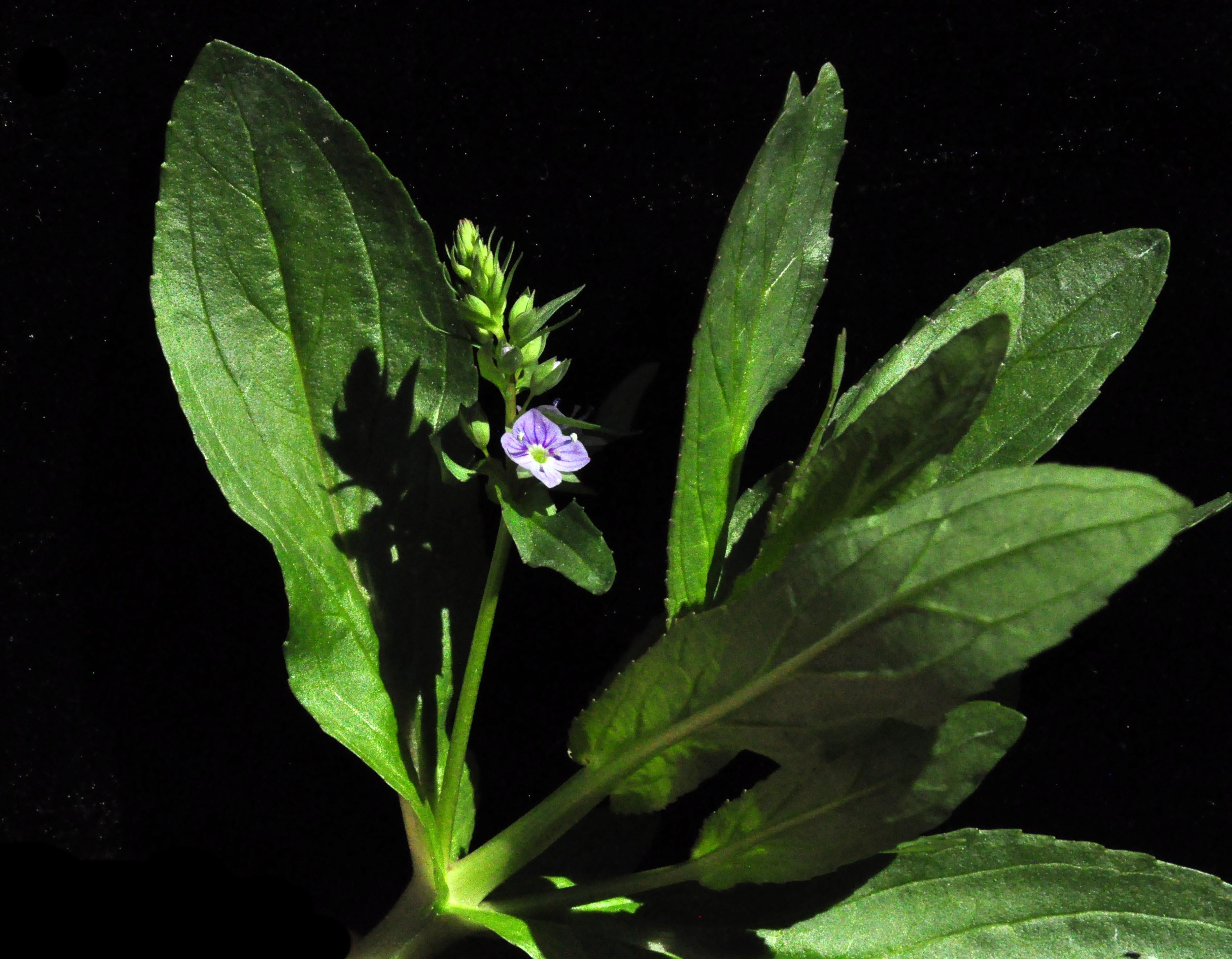 Frank s rose february 2015 blue flower izmirmasajfo
