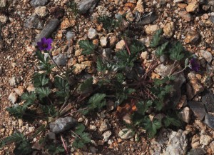 Erodium texanum PL