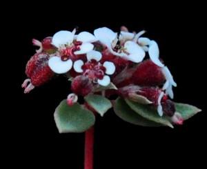 Euphorbia capitellata 5