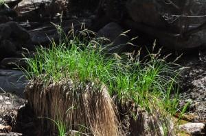 Carex senta 3b