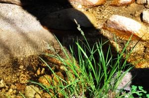 Carex senta 3c
