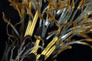 Carex senta 9