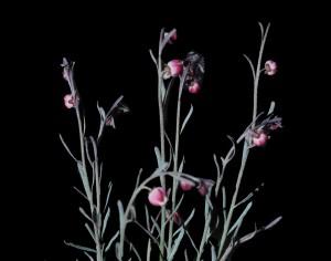 Thamnosa texana 5