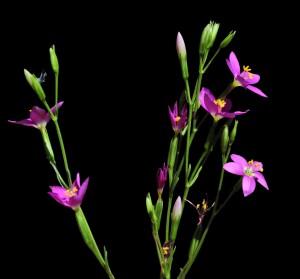 Centaurium arizonicum 5