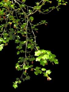 Ribes pinetorum 5