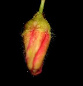 Ribes pinetorum bud