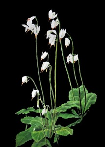 Dodecatheon dentatum