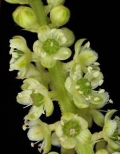 Phytolacca icosandra 6