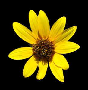 Helianthus roadside 7
