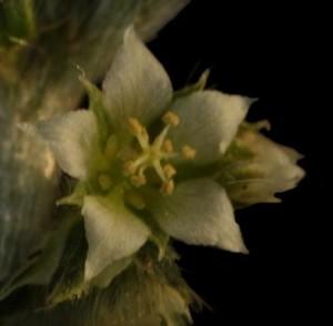 Argythamnia neomexicana 7 TUS