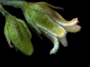 Metastelma arizonicum 7 TUS