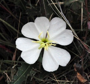 Oenothera caespitosa FL