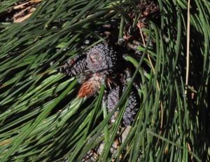 Pinus ponderosa FLf