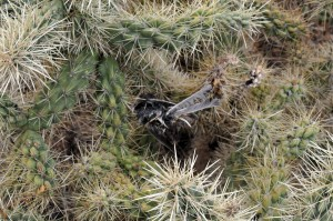 Dead bird  in cholla