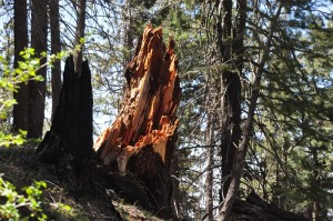 Douglas Fir Stump