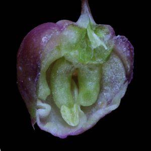 pennellia-longifolia-cleistofl-inside